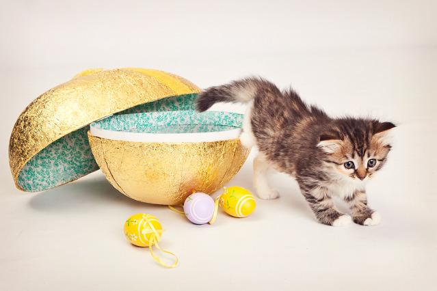 manedens-katt-april-n-sibgonara-falzetta