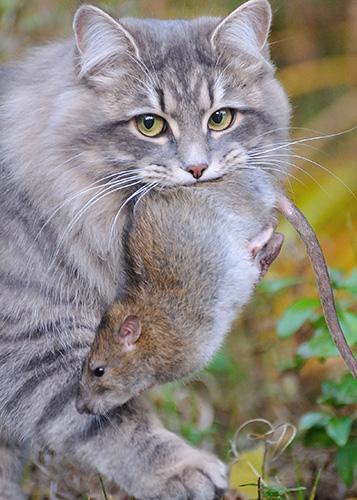 Månedens katt juni - (n) Djengis Cat Alvas Mosquito