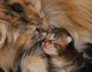 Månedens katt juli (n) Carillocat Weird Love og (n) Carillocat Apple Snapple