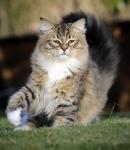 Månedens Katt September - Gess Rys od Krolowych *PL